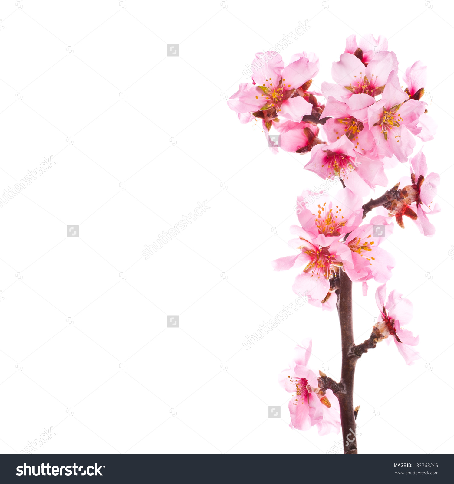 Stock Photo Almond Tree Pink Flowers Close Up With Branch Isolated
